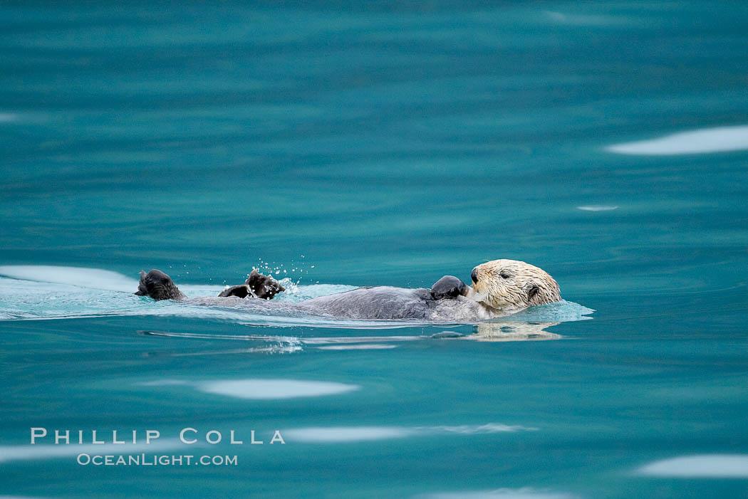 Sea otter. Resurrection Bay, Kenai Fjords National Park, Alaska, USA, Enhydra lutris, natural history stock photograph, photo id 16944