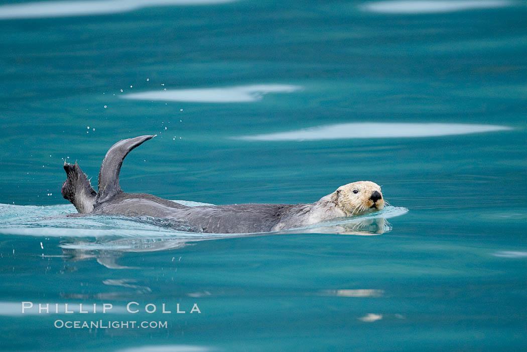 Sea otter. Resurrection Bay, Kenai Fjords National Park, Alaska, USA, Enhydra lutris, natural history stock photograph, photo id 16943