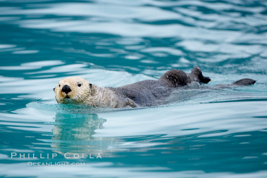 Sea otter. Resurrection Bay, Kenai Fjords National Park, Alaska, USA, Enhydra lutris, natural history stock photograph, photo id 16937