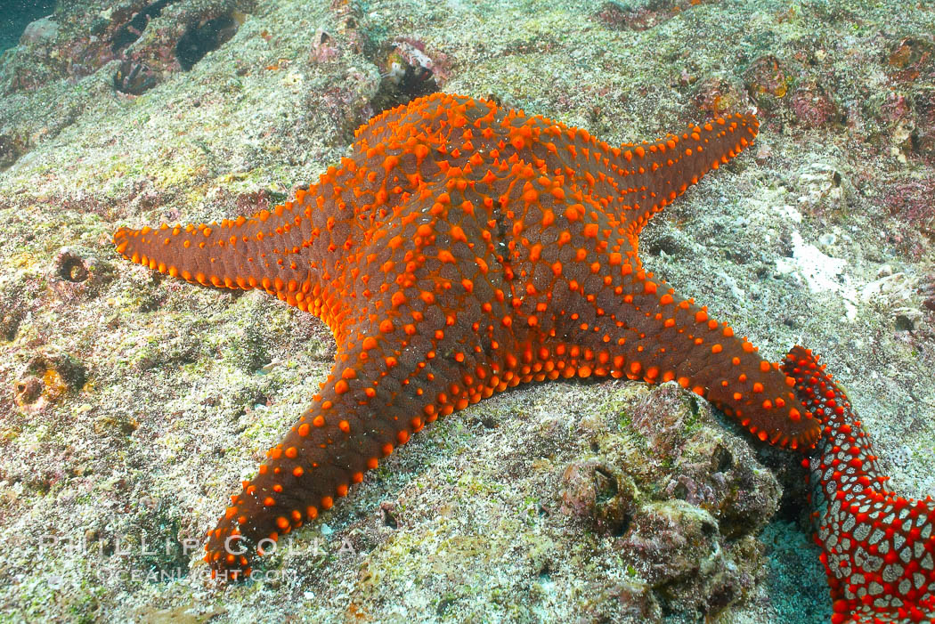 Unidentified sea star (starfish). North Seymour Island, Galapagos Islands, Ecuador, natural history stock photograph, photo id 16430