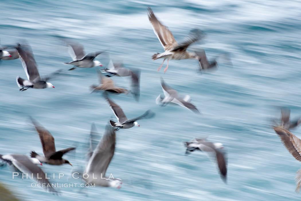 Seabirds in flight at sunrise, long exposure produces a blurred motion. La Jolla, California, USA, natural history stock photograph, photo id 15287