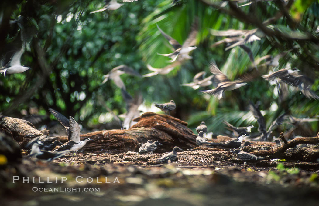 Seabirds shelter among Pisonia trees on Rose Atoll. Rose Atoll National Wildlife Refuge, American Samoa, USA, natural history stock photograph, photo id 00901