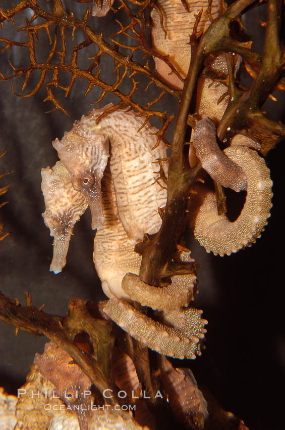 Seahorse., Hippocampus, natural history stock photograph, photo id 08713