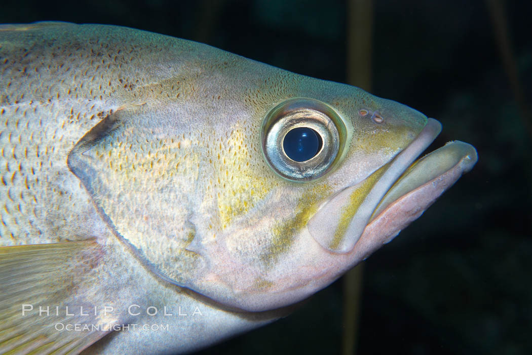 Yellowtail rockfish are found the eastern Aleutian island as far south as southern California, and can live over 60 years., Sebastes flavidus, natural history stock photograph, photo id 16960