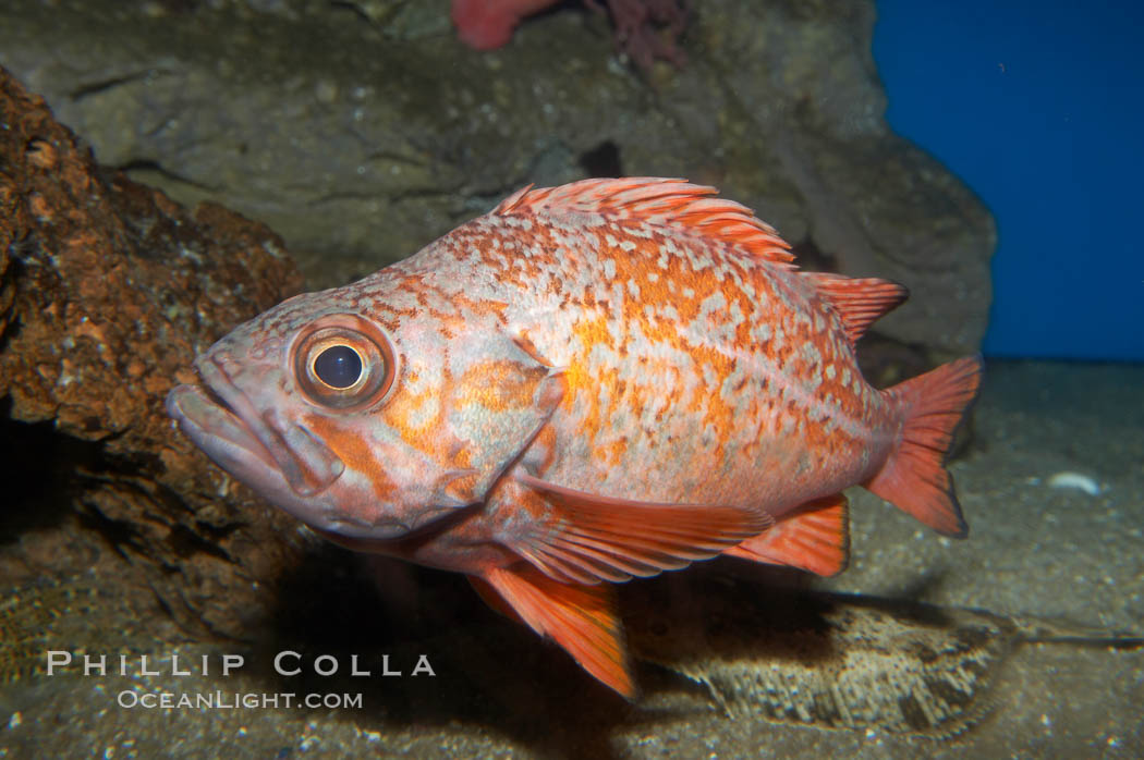 Vermillion rockfish., Sebastes miniatus, natural history stock photograph, photo id 11856