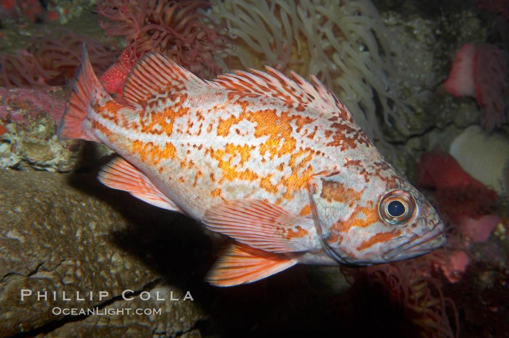 Vermillion rockfish., Sebastes miniatus, natural history stock photograph, photo id 11859