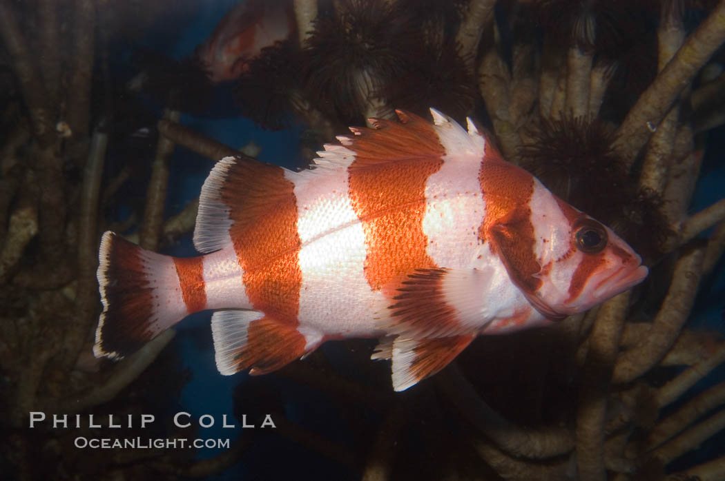 Image 07867, Flag rockfish., Sebastes rubrivinctus, Phillip Colla, all rights reserved worldwide. Keywords: animal, band, california baja california, color and pattern, fish, fish anatomy, flag rockfish, indo-pacific, marine fish, rockfish scorpionfish, rocote bandera, sebastes rubrivinctus, underwater.