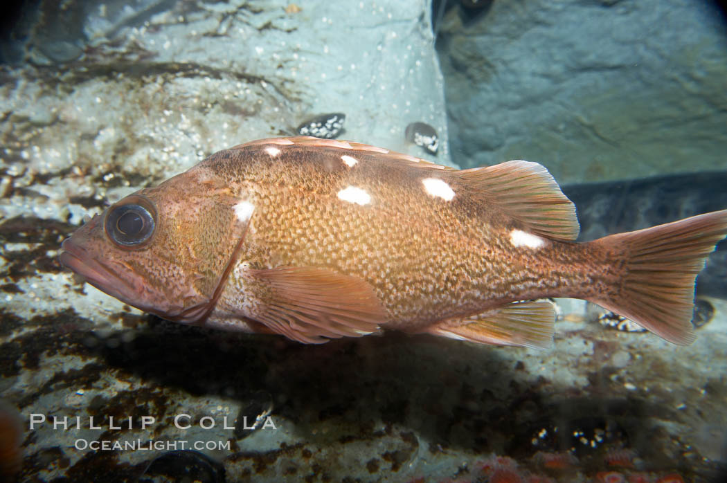 Honeycomb rockfish., Sebastes umbrosus, natural history stock photograph, photo id 11882
