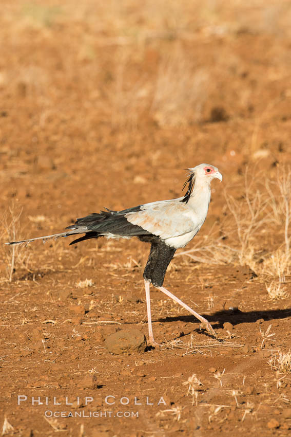 Secretary bird, a large bird of prey in Kenya. Meru National Park, Kenya, Sagittarius serpentarius, natural history stock photograph, photo id 29650