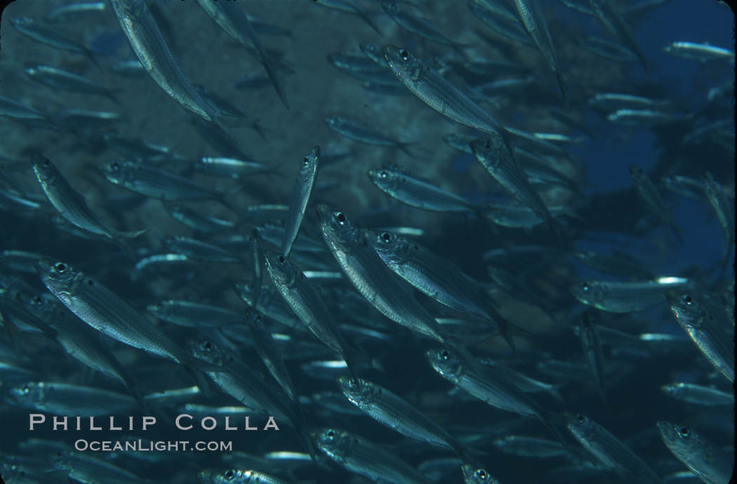 Bigeye scad, schooling. Sea of Cortez, La Paz, Baja California, Mexico, Selar crumenophthalmus, natural history stock photograph, photo id 04804