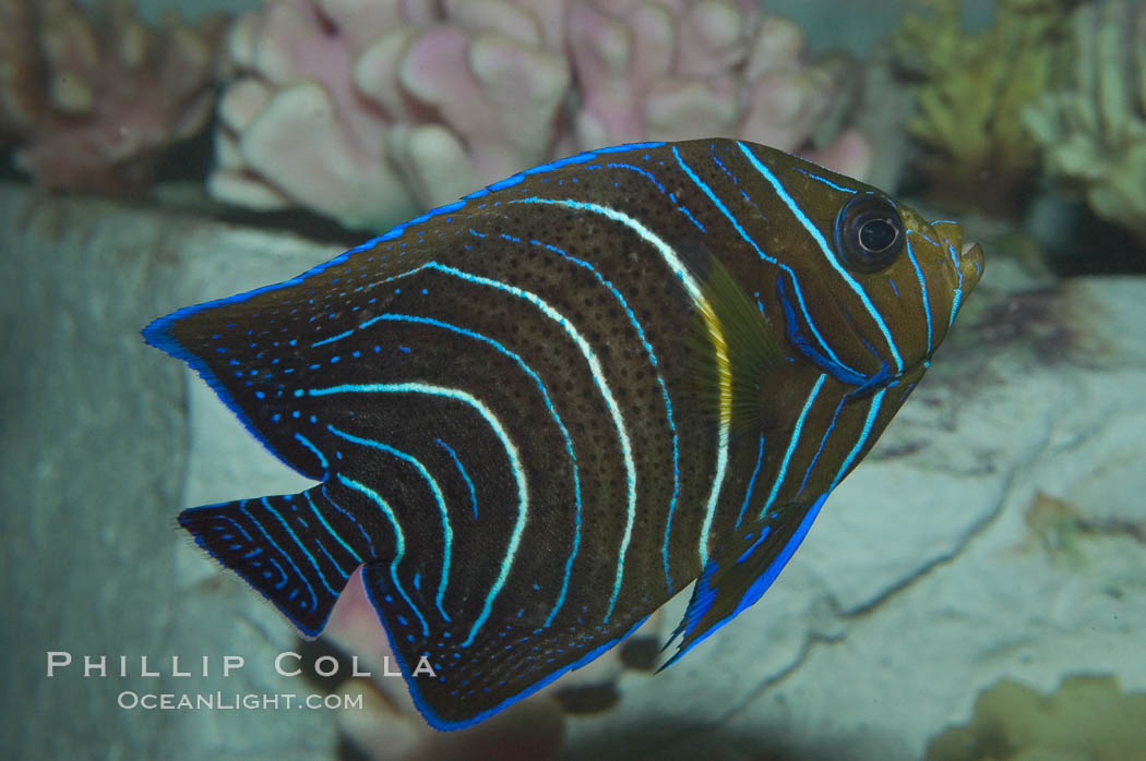 Image 07924, Semicircle angelfish, juvenile form., Pomacanthus semicirculatus, Phillip Colla, all rights reserved worldwide. Keywords: adult - juvenile difference, angelfish, animal, color and pattern, fish, fish anatomy, half-circled angelfish, indo-pacific, juvenile, koran angel, koran angelfish, marine fish, pomacanthus semicirculatus, semicircle angelfish, stripe, underwater.