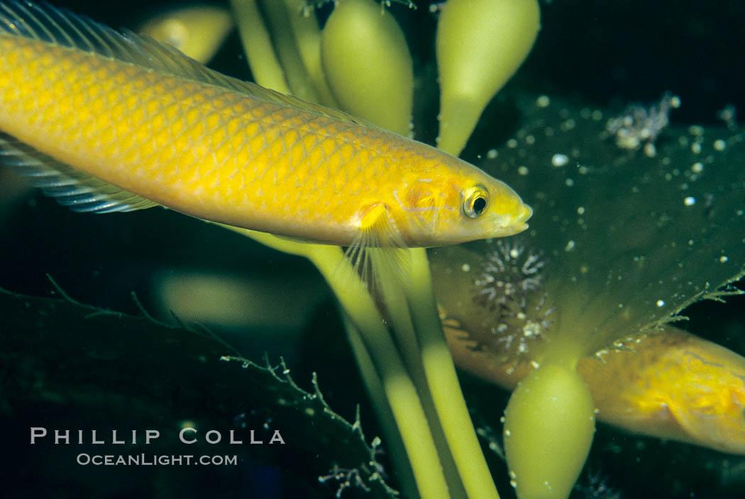 Senorita. Catalina Island, California, USA, Oxyjulis californica, natural history stock photograph, photo id 05169