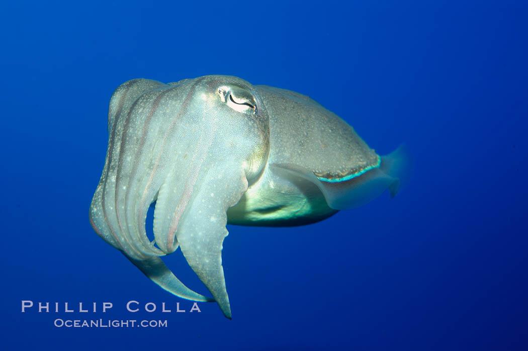 Common cuttlefish., Sepia officinalis, natural history stock photograph, photo id 10304