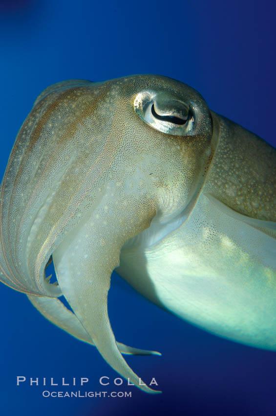 Common cuttlefish., Sepia officinalis, natural history stock photograph, photo id 10301