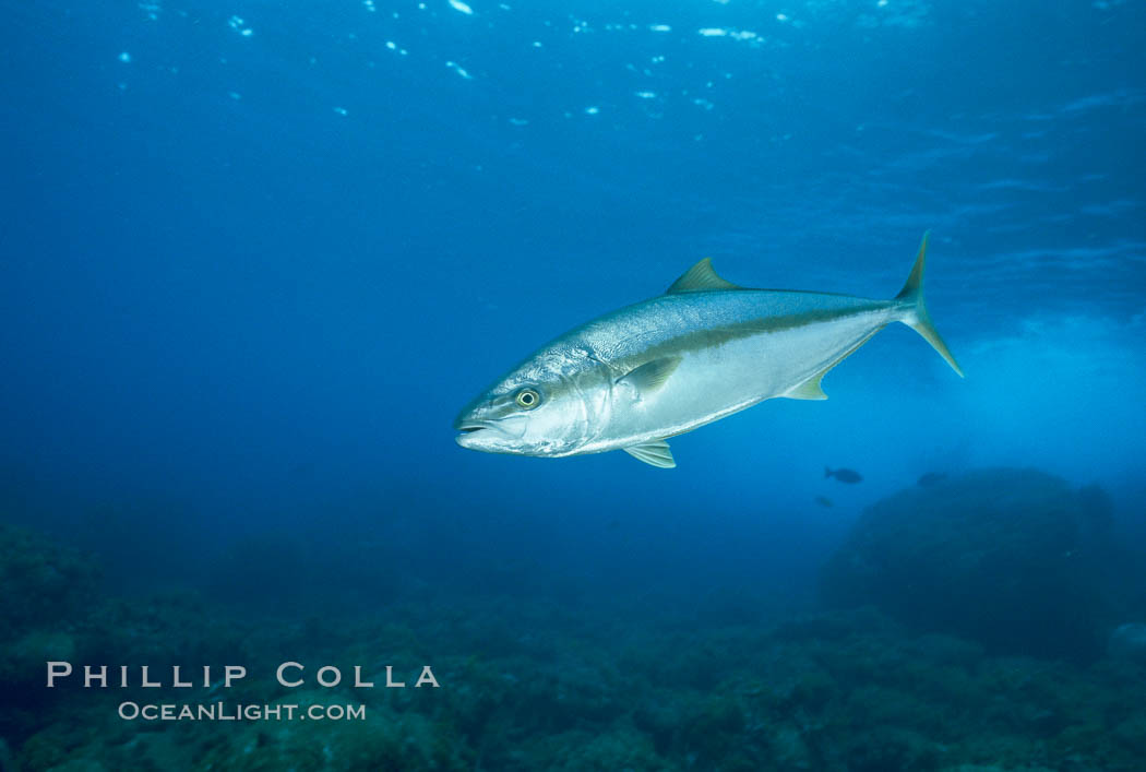 North Pacific Yellowtail. Guadalupe Island (Isla Guadalupe), Baja California, Mexico, Seriola lalandi, natural history stock photograph, photo id 05188