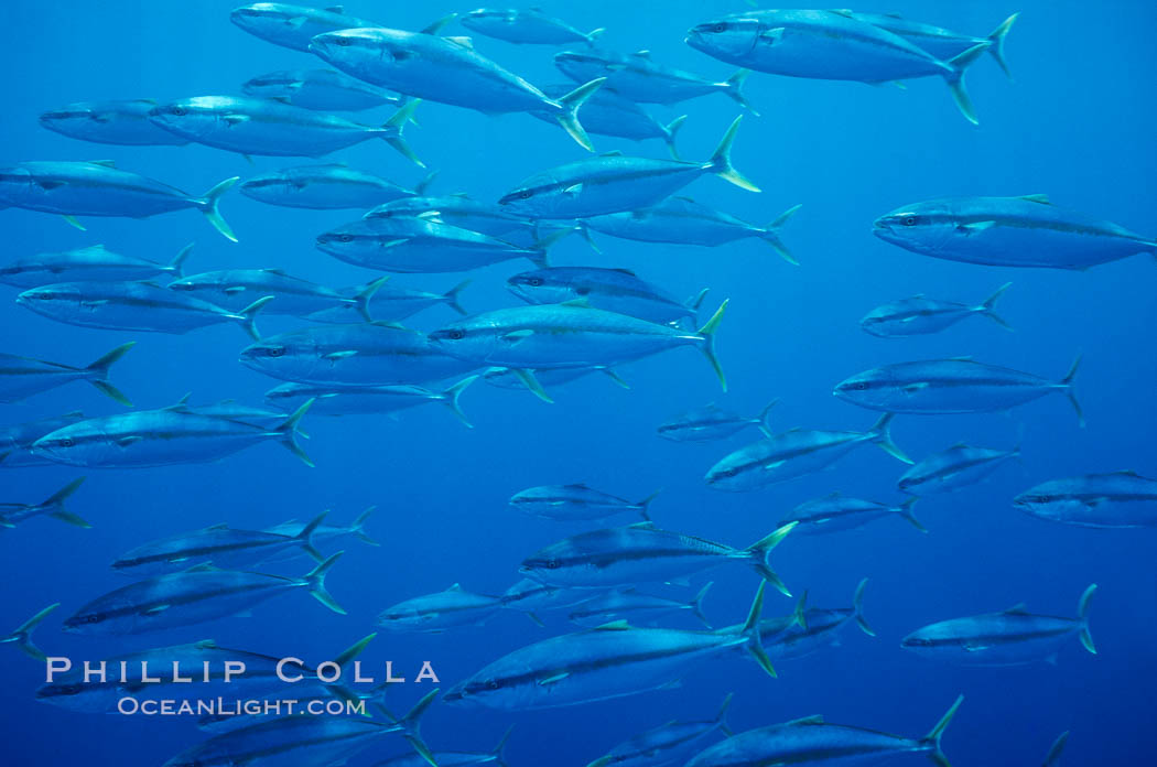 School of juvenile North Pacific Yellowtail, attracted to nearby drift kelp, open ocean. San Diego, California, USA, Seriola lalandi, natural history stock photograph, photo id 02439