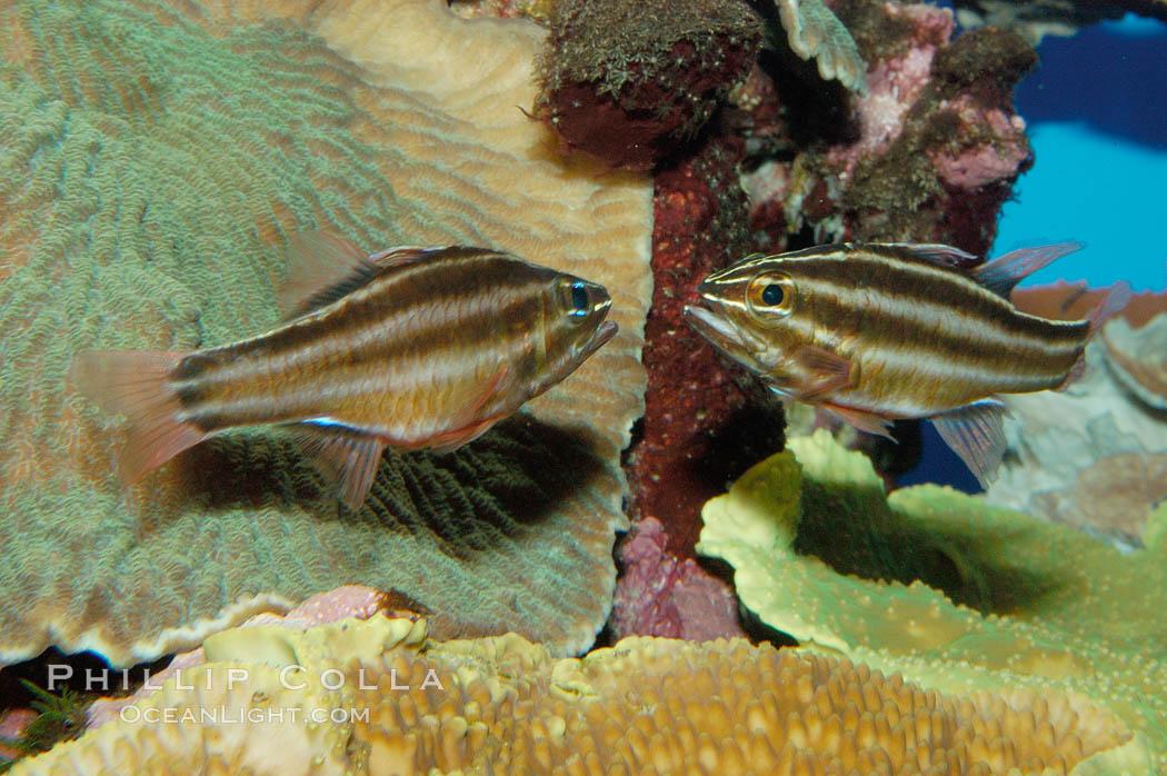 Sevenstriped cardinalfish., Apogon novemfasciatus, natural history stock photograph, photo id 09363
