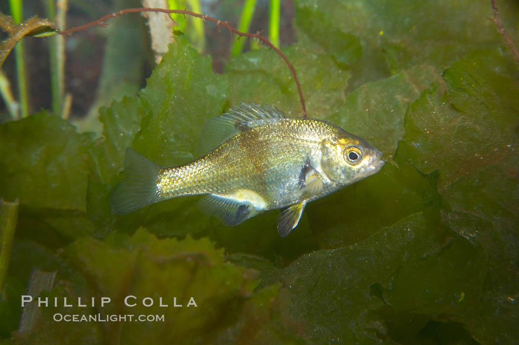 Shiner perch., Cymatogaster aggregata, natural history stock photograph, photo id 14010