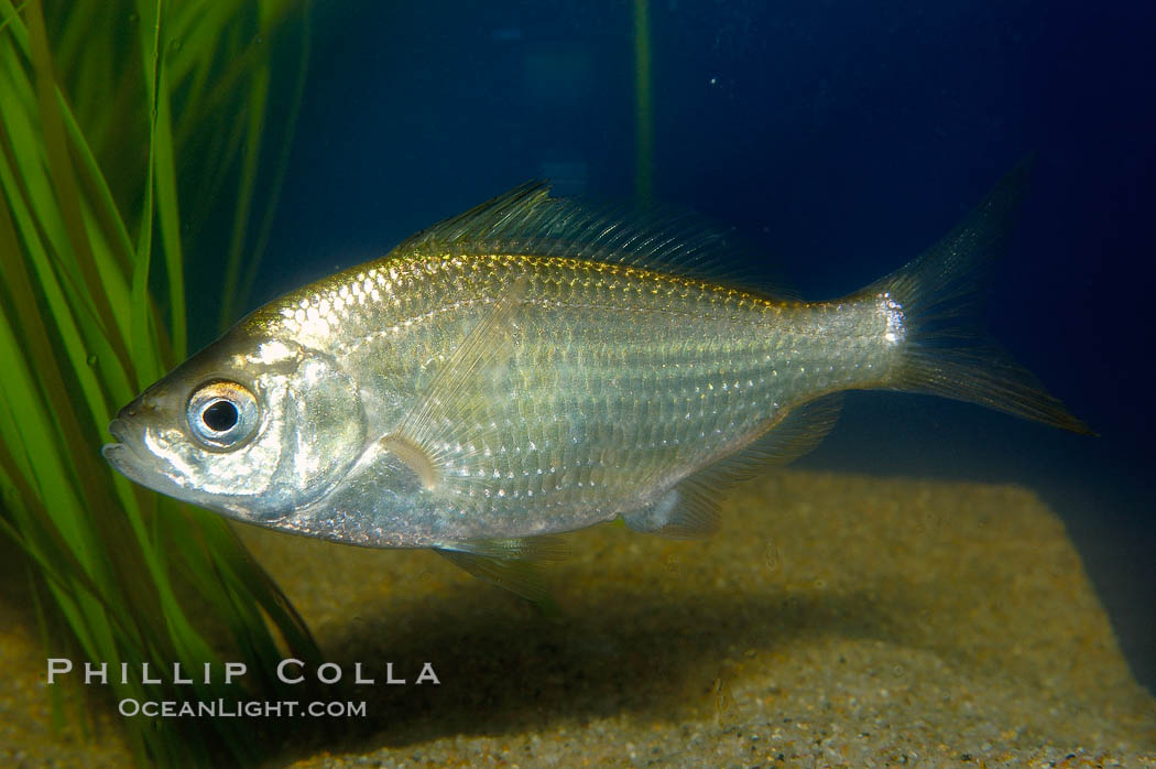 Shiner perch., Cymatogaster aggregata, natural history stock photograph, photo id 09812