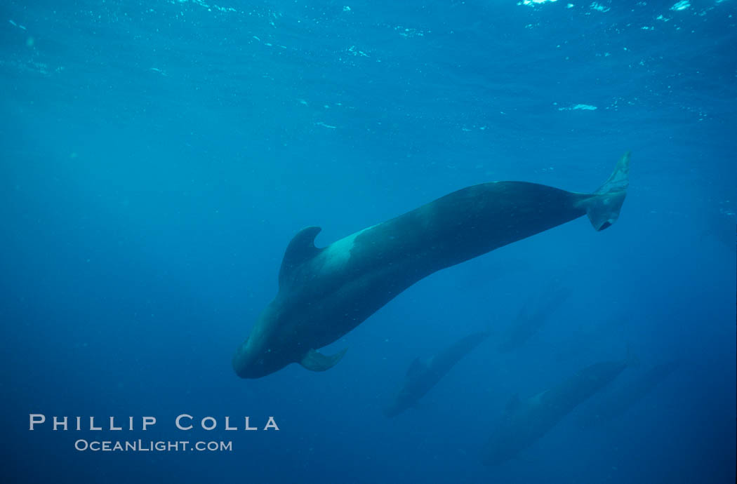Short fin pilot whale, Sea of Cortez., Globicephala macrorhynchus, natural history stock photograph, photo id 00104