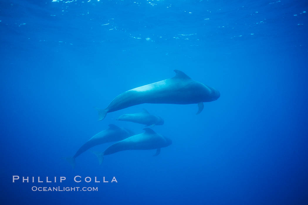 Short-finned pilot whales. Sao Miguel Island, Azores, Portugal, Globicephala macrorhynchus, natural history stock photograph, photo id 02085