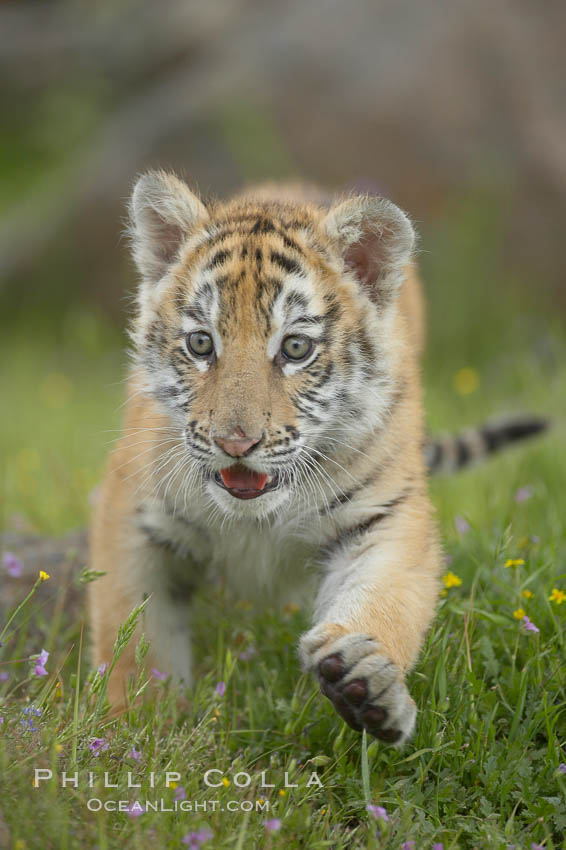 Siberian tiger cub, male, 10 weeks old., Panthera tigris altaica, natural history stock photograph, photo id 16000