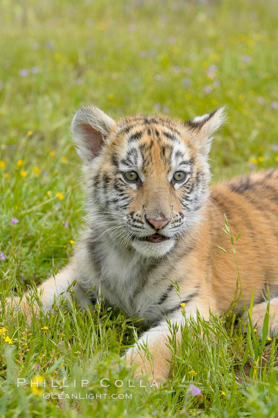 Siberian tiger cub, male, 10 weeks old., Panthera tigris altaica, natural history stock photograph, photo id 16023
