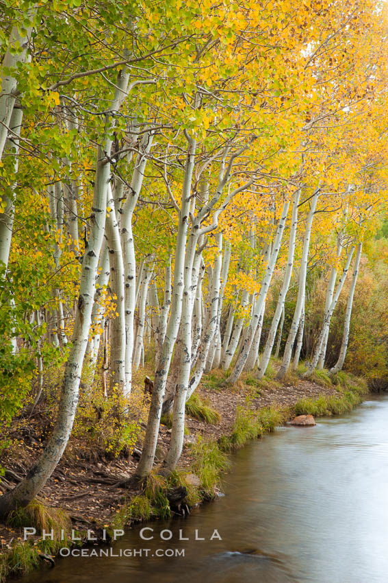 Bishop Creek and aspen trees in autumn, in the eastern Sierra Nevada mountains. Bishop Creek Canyon Sierra Nevada Mountains, California, USA, Populus tremuloides, natural history stock photograph, photo id 26074