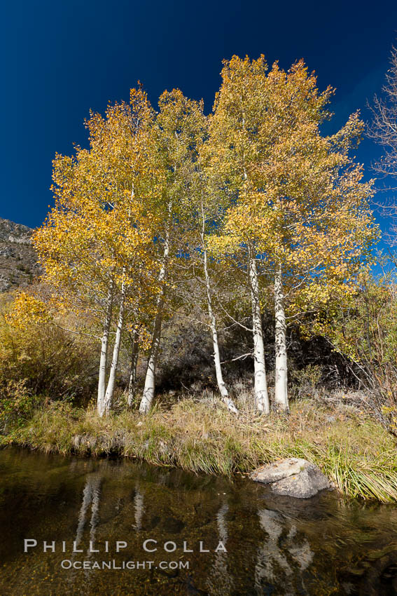 Image 26086, Bishop Creek and aspen trees in autumn, in the eastern Sierra Nevada mountains. Bishop Creek Canyon Sierra Nevada Mountains, Bishop, California, USA, Populus tremuloides