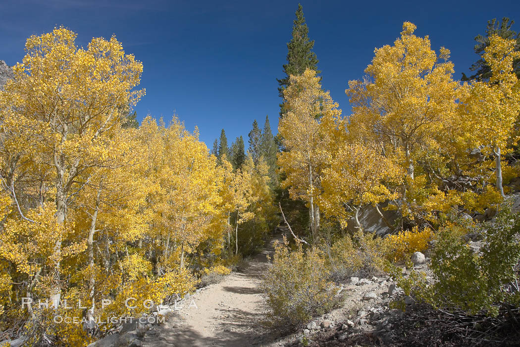 Aspen trees display Eastern Sierra fall colors, Lake Sabrina, Bishop Creek Canyon. Bishop Creek Canyon, Sierra Nevada Mountains, California, USA, Populus tremuloides, natural history stock photograph, photo id 17514