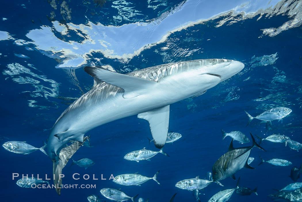 Silky Shark at San Benedicto Islands, Revillagigedos, Mexico. Socorro Island (Islas Revillagigedos), Baja California, Mexico, Carcharhinus falciformis, natural history stock photograph, photo id 33310