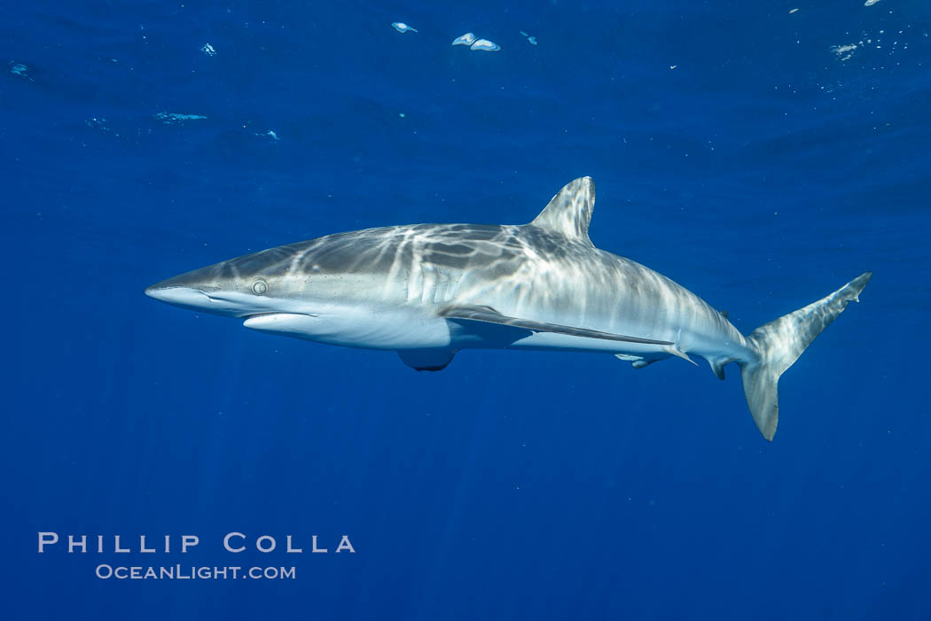 Image 33314, Silky Shark at San Benedicto Islands, Revillagigedos, Mexico. Socorro Island (Islas Revillagigedos), Baja California, Carcharhinus falciformis, Phillip Colla, all rights reserved worldwide. Keywords: animal, animalia, carcharhinidae, carcharhiniformes, carcharhinus, carcharhinus falciformis, chondrichthyes, chordata, creature, danger, elasmobranch, elasmobranchii, falciformis, fear, jaws, mexico, nature, ocean, oceans, outdoors, outside, pacific, predator, revillagigedos, risk, sea, shark, silky shark, socorro island, submarine, underwater, vertebrata, wildlife.