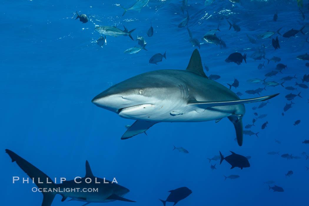 Silky Shark at San Benedicto Islands, Revillagigedos, Mexico. Socorro Island (Islas Revillagigedos), Baja California, Mexico, Carcharhinus falciformis, natural history stock photograph, photo id 33312