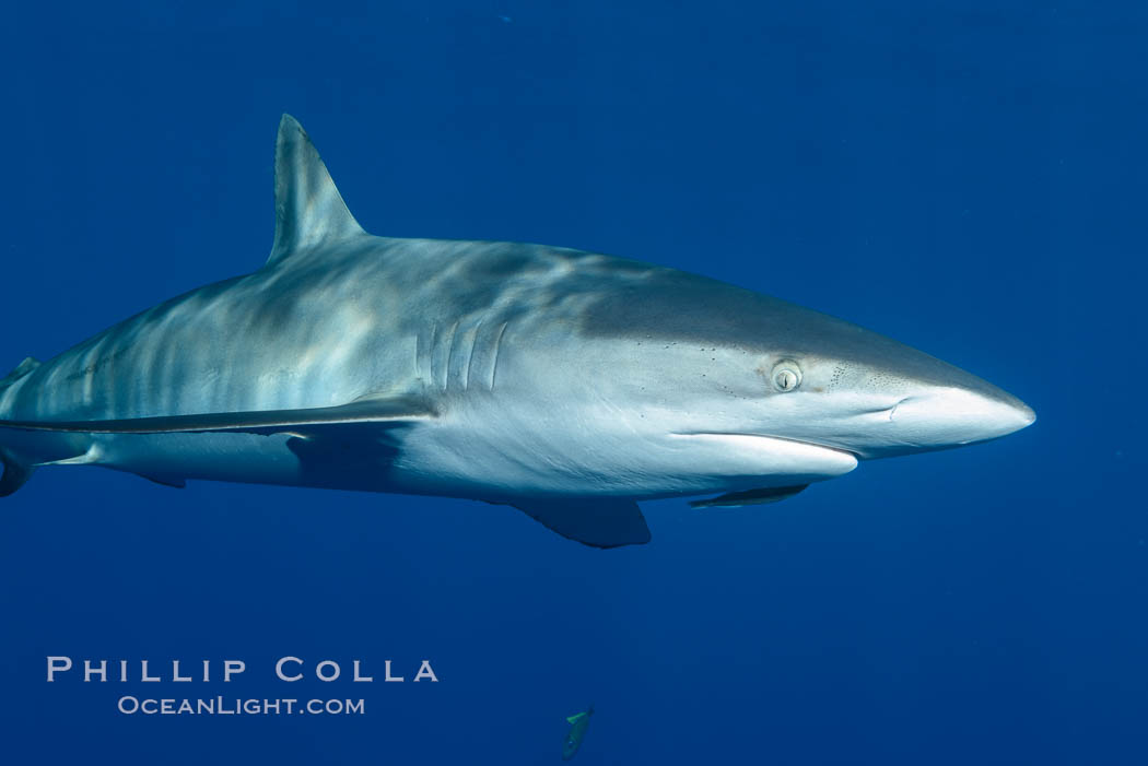 Silky Shark at San Benedicto Islands, Revillagigedos, Mexico. Socorro Island (Islas Revillagigedos), Baja California, Mexico, Carcharhinus falciformis, natural history stock photograph, photo id 33316