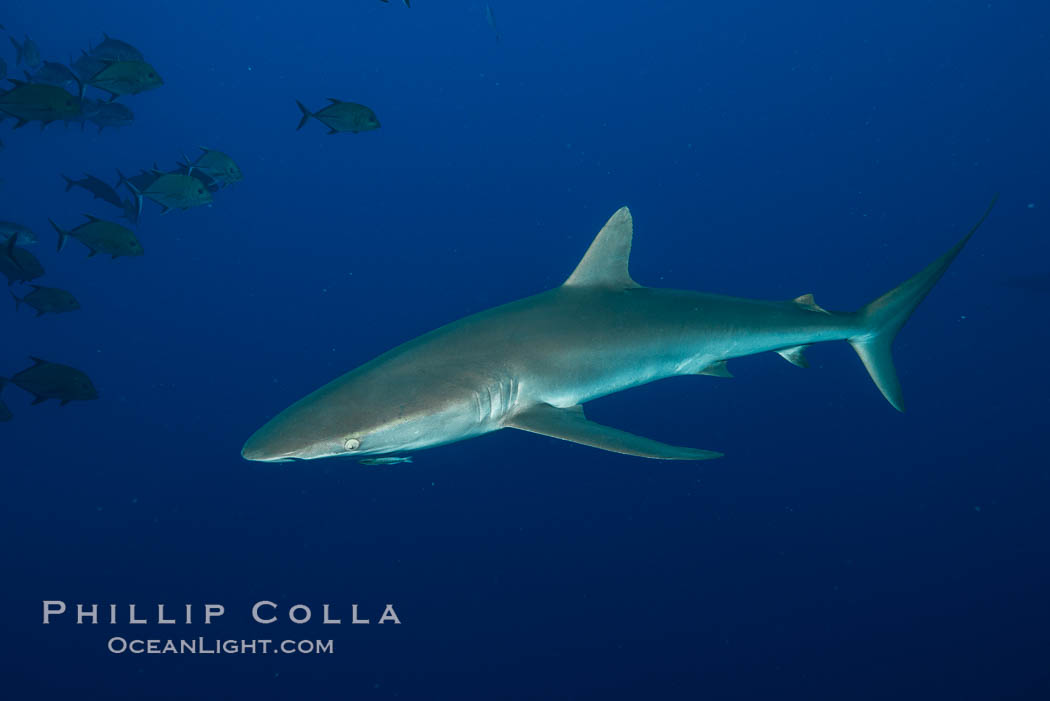 Image 33332, Silky Shark at San Benedicto Islands, Revillagigedos, Mexico. Socorro Island (Islas Revillagigedos), Baja California, Carcharhinus falciformis, Phillip Colla, all rights reserved worldwide. Keywords: animal, animalia, carcharhinidae, carcharhiniformes, carcharhinus, carcharhinus falciformis, chondrichthyes, chordata, creature, danger, elasmobranch, elasmobranchii, falciformis, fear, jaws, mexico, nature, ocean, oceans, outdoors, outside, pacific, predator, revillagigedos, risk, sea, shark, silky shark, socorro island, submarine, underwater, vertebrata, wildlife.