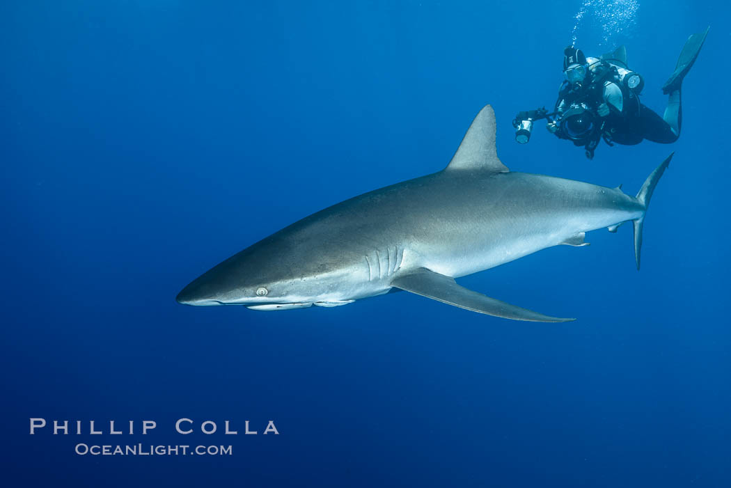 Silky Shark at San Benedicto Islands, Revillagigedos, Mexico. Socorro Island (Islas Revillagigedos), Baja California, Mexico, Carcharhinus falciformis, natural history stock photograph, photo id 33317