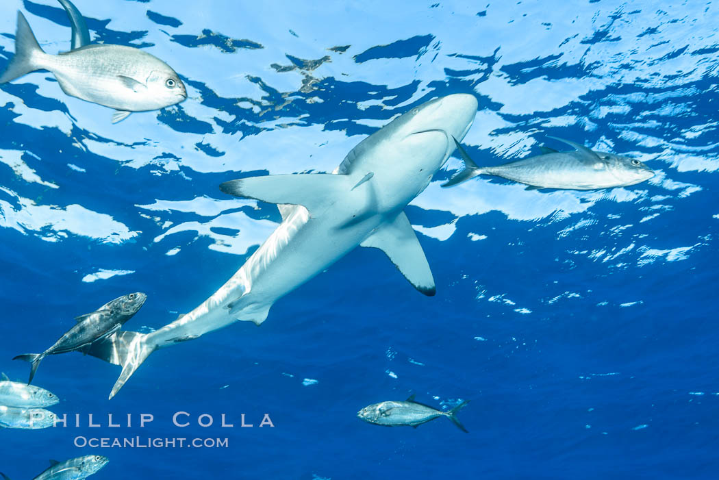 Silky Shark at San Benedicto Islands, Revillagigedos, Mexico. Socorro Island (Islas Revillagigedos), Baja California, Carcharhinus falciformis, natural history stock photograph, photo id 33341