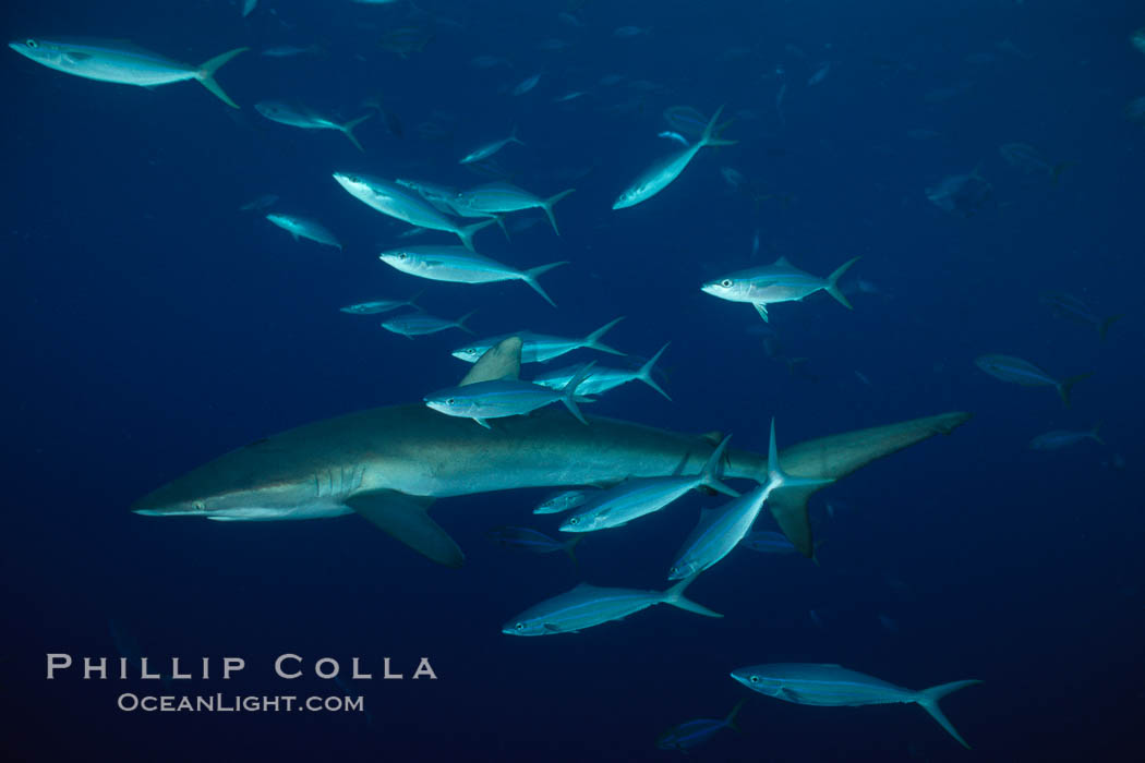Silky shark. Cocos Island, Costa Rica, Carcharhinus falciformis, natural history stock photograph, photo id 01990