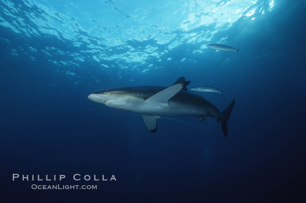 Silky shark trailing longline and hook. Cocos Island, Costa Rica, Carcharhinus falciformis, natural history stock photograph, photo id 05010