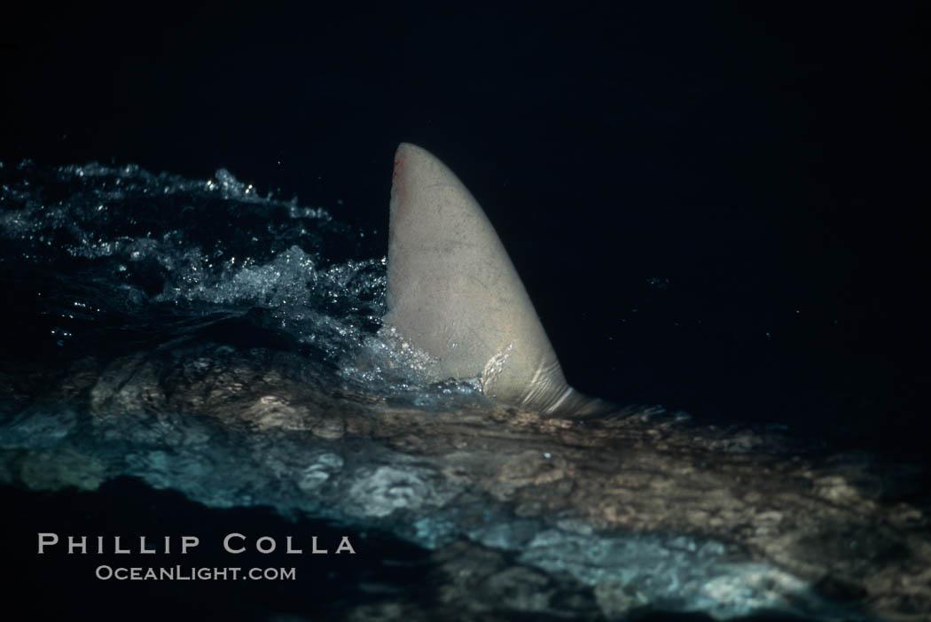 Silky shark, dorsal fin breaking surface. Cocos Island, Costa Rica, Carcharhinus falciformis, natural history stock photograph, photo id 05016