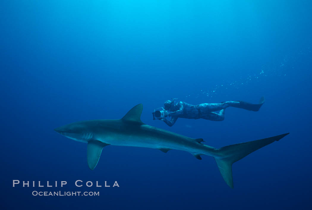 Silky shark and freediving videographer Harrison Skip Stubbs,Socorro Island (Revilligigedos). Socorro Island (Islas Revillagigedos), Baja California, Mexico, Carcharhinus falciformis, natural history stock photograph, photo id 03305