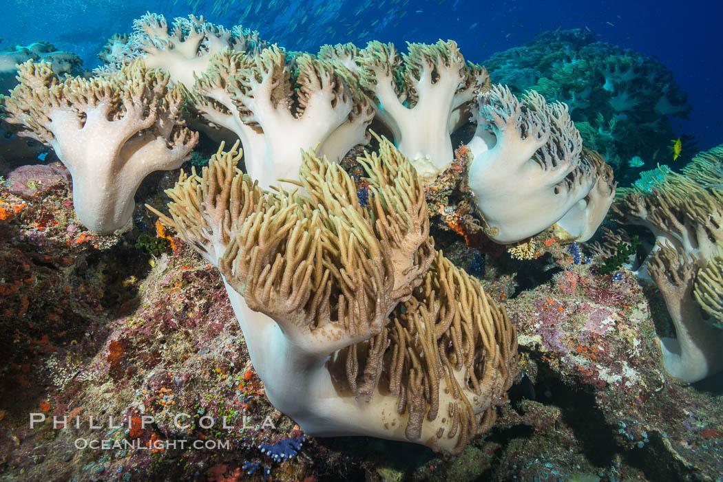 Sinularia flexibilis finger leather soft coral, Fiji. Namena Marine Reserve, Namena Island, Fiji, Sinularis flexibilis, natural history stock photograph, photo id 31403