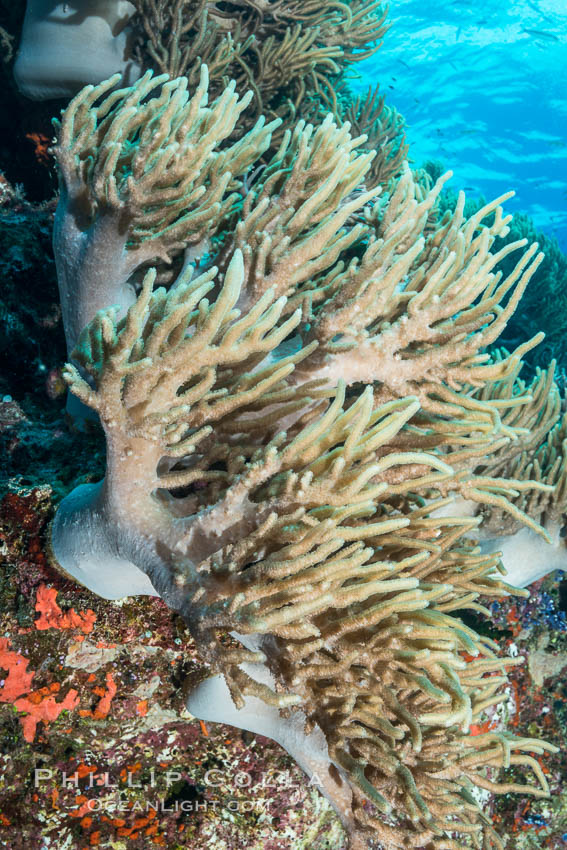 Sinularia flexibilis finger leather soft coral, Fiji. Namena Marine Reserve, Namena Island, Sinularis flexibilis, natural history stock photograph, photo id 31831