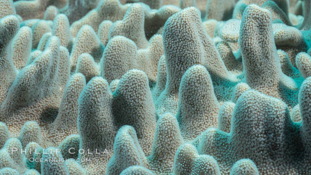 Leather coral, detail of the tiny polyps that capture planktonic food, Sinularia sp., Fiji. Makogai Island, Lomaiviti Archipelago, Fiji, Sinularia, natural history stock photograph, photo id 31796