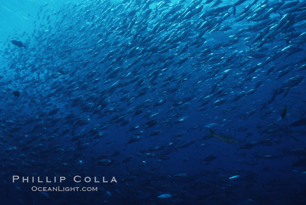 Skipjack tuna school at Roca Partida, Revilligigedos., Katsuwonus pelamis, natural history stock photograph, photo id 07102