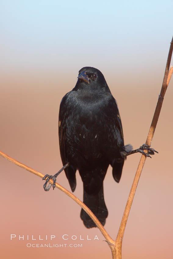 Small black bird. Bosque del Apache National Wildlife Refuge, Socorro, New Mexico, USA, natural history stock photograph, photo id 21810