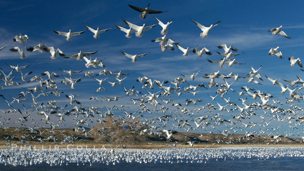 Snow geese blast off.  After resting and preening on water, snow geese are startled by a coyote, hawk or just wind and take off en masse by the thousands.  As many as 50,000 snow geese are found at Bosque del Apache NWR at times, stopping at the refuge during their winter migration along the Rio Grande River. Bosque del Apache National Wildlife Refuge, Socorro, New Mexico, USA, Chen caerulescens, natural history stock photograph, photo id 21817