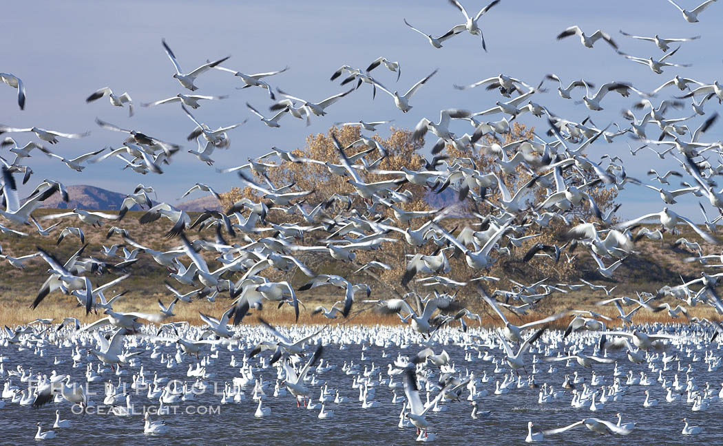 Snow geese blast off.  After resting and preening on water, snow geese are started by a coyote, hawk or just wind and take off en masse by the thousands.  As many as 50,000 snow geese are found at Bosque del Apache NWR at times, stopping at the refuge during their winter migration along the Rio Grande River. Bosque del Apache National Wildlife Refuge, Socorro, New Mexico, USA, Chen caerulescens, natural history stock photograph, photo id 21917