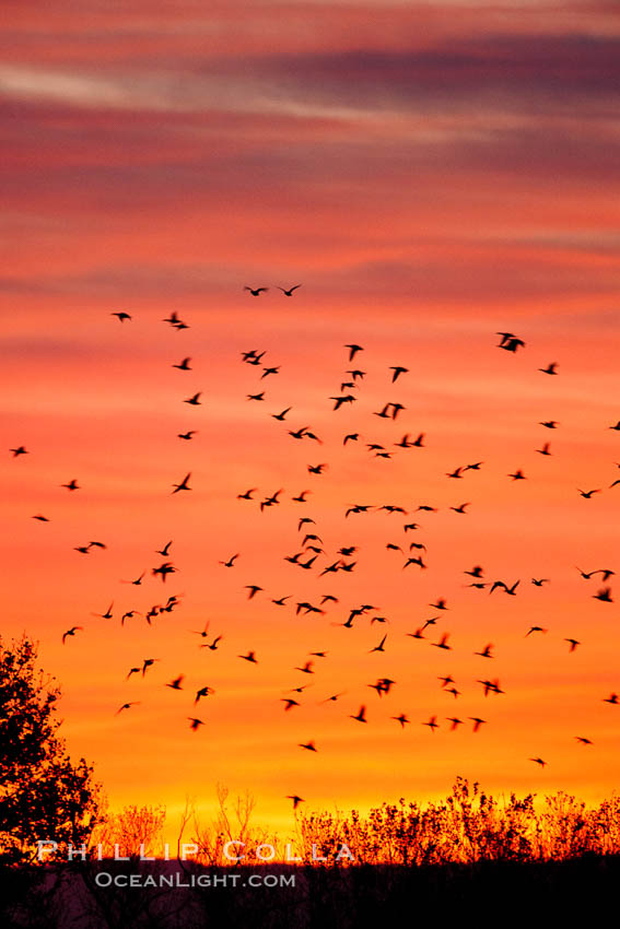 Image 26232, Snow geese in flight at sunrise.  Bosque del Apache NWR is winter home to many thousands of snow geese which are often see in vast flocks in the sky. Bosque Del Apache, Socorro, New Mexico, USA, Chen caerulescens