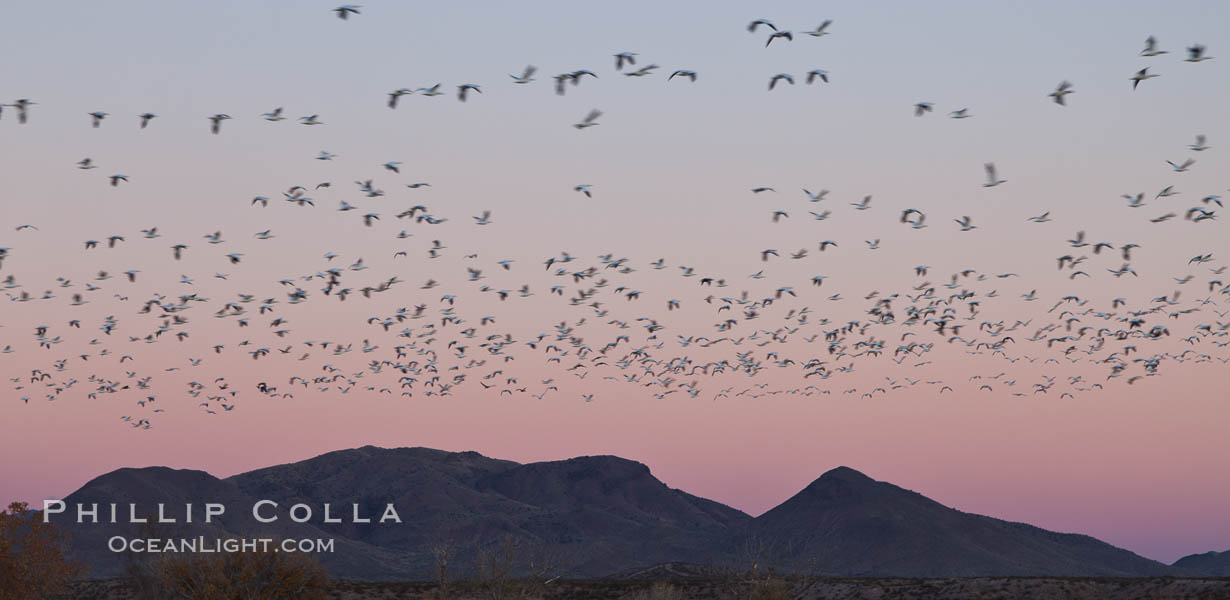 Snow geese in flight at sunrise.  Bosque del Apache NWR is winter home to many thousands of snow geese which are often see in vast flocks in the sky. Bosque Del Apache, Socorro, New Mexico, USA, Chen caerulescens, natural history stock photograph, photo id 26236